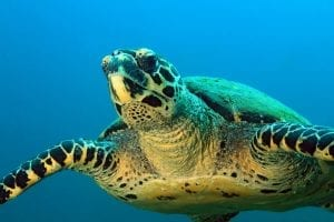 Hawksbill Turtle (Eretmochelys imbricata) Approaching. Coiba, Panama