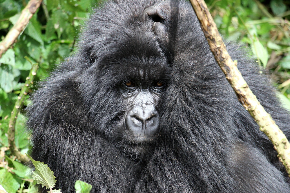 A silverback mountain gorilla, Volcanoes National Park, Rwanda