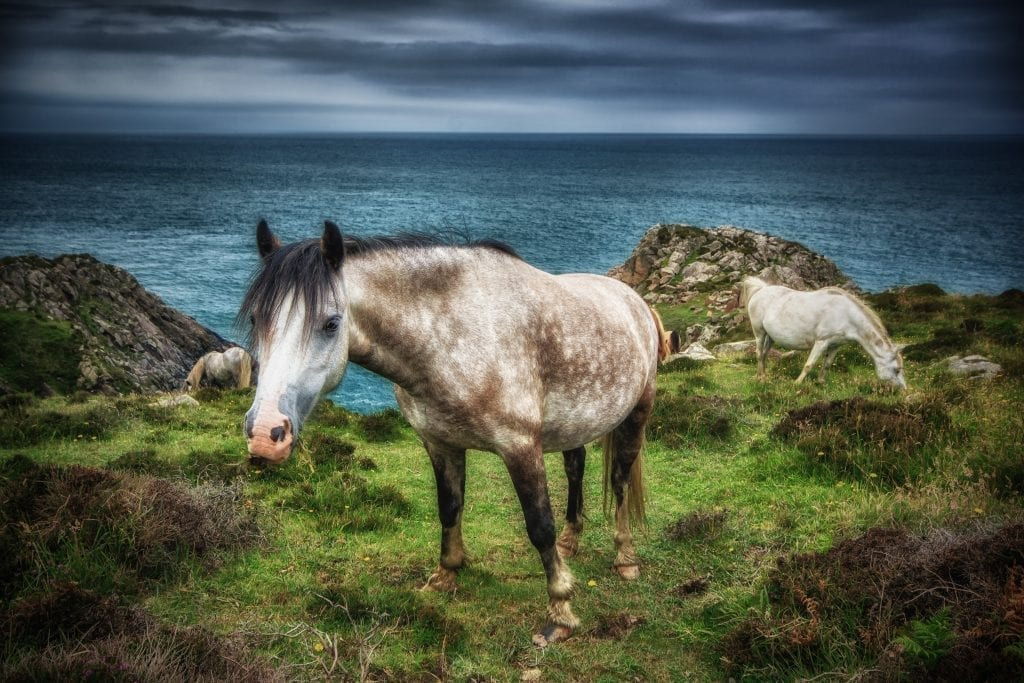 A pony on the Pembrokeshire Coast path