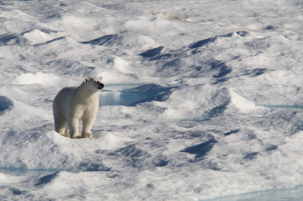 Watch Bowhead Whales and Polar Bears in Arctic Canada