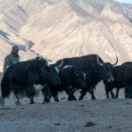 Yaks, Silk Road travel, Tajikistan