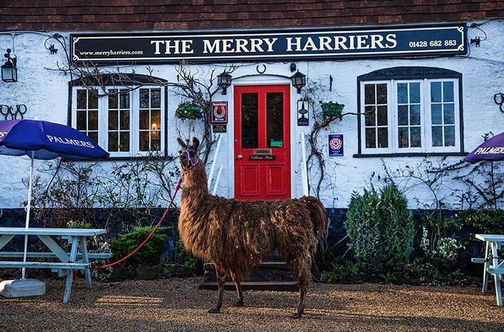 Go Llama Trekking in Surrey