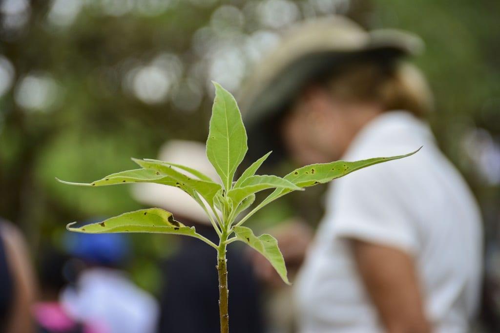 Scalesia reforestation