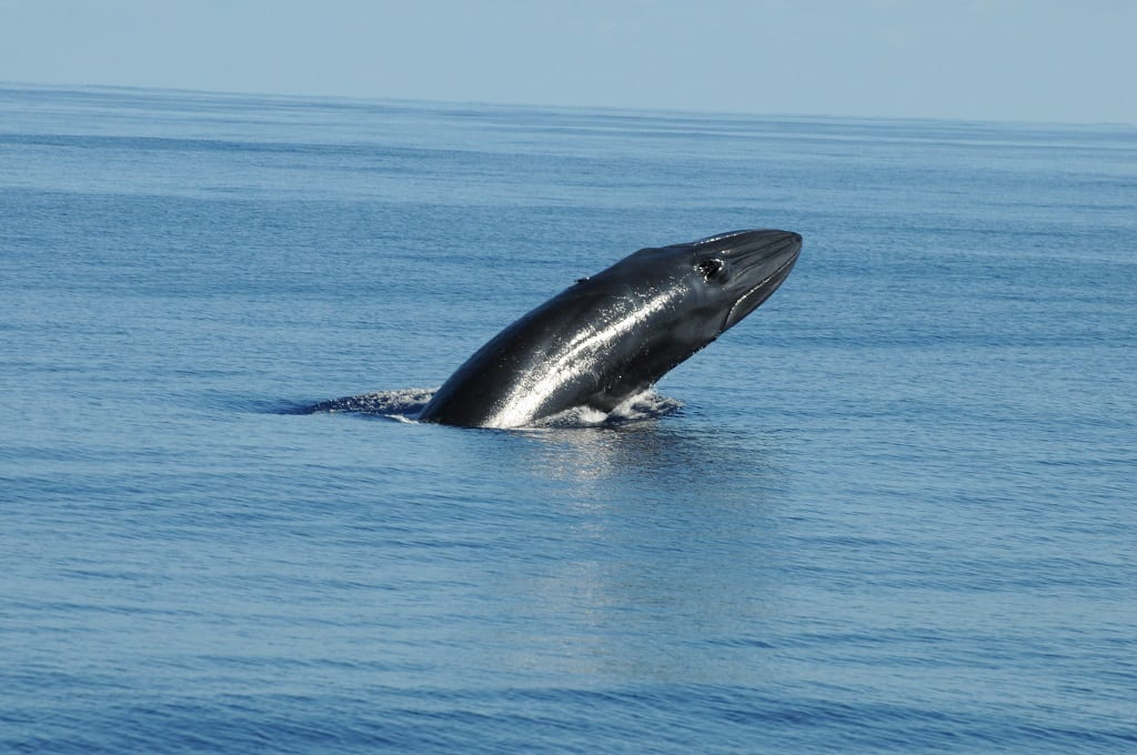 Bryde whale - © Rui Romano