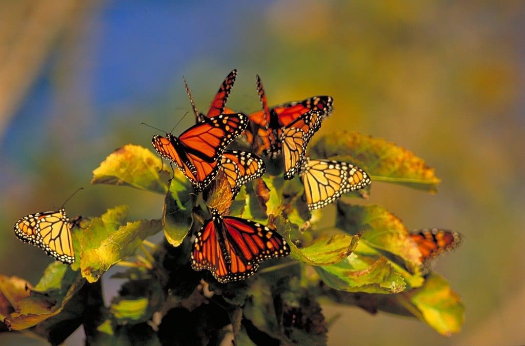 Monarch butterflies in Point Pelee