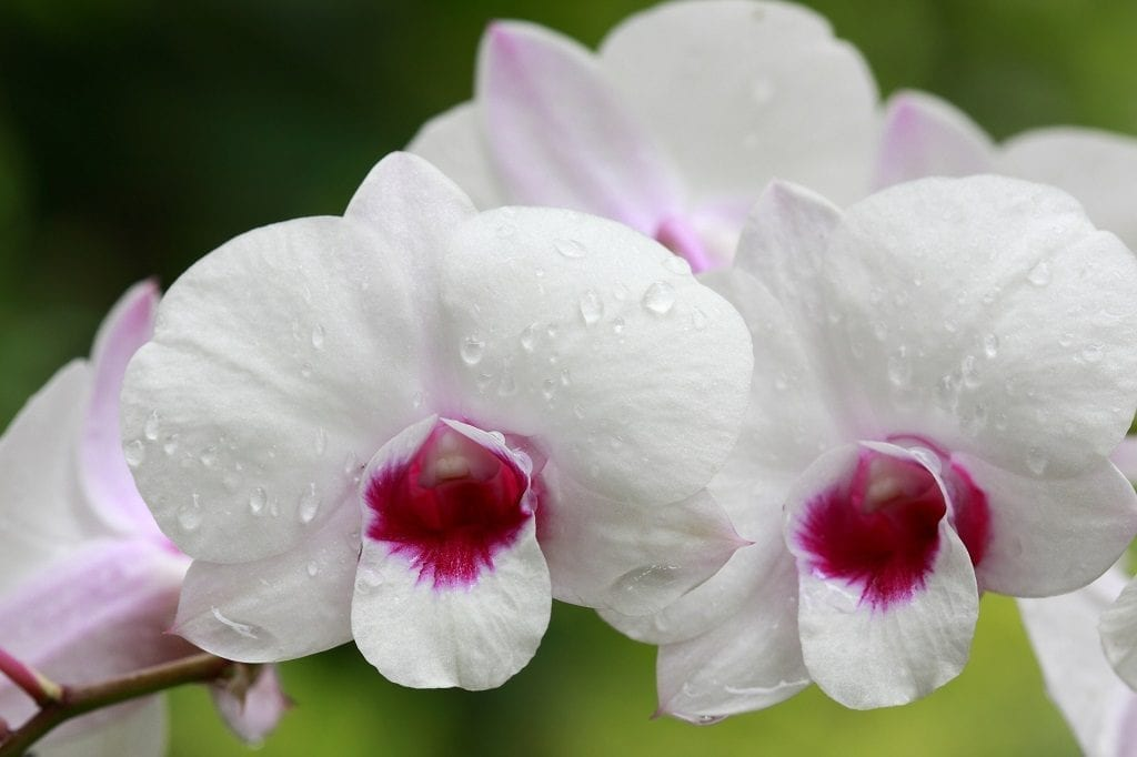 a group of white orchids