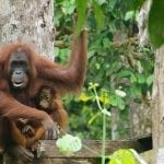 Sabah Borneo Holidays: Mountains, Rainforest and Orangutan