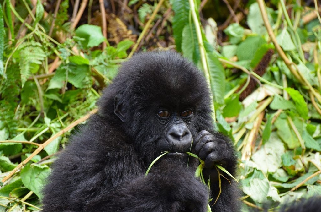 Up Close and Personal: Uganda's Mountain Gorilla