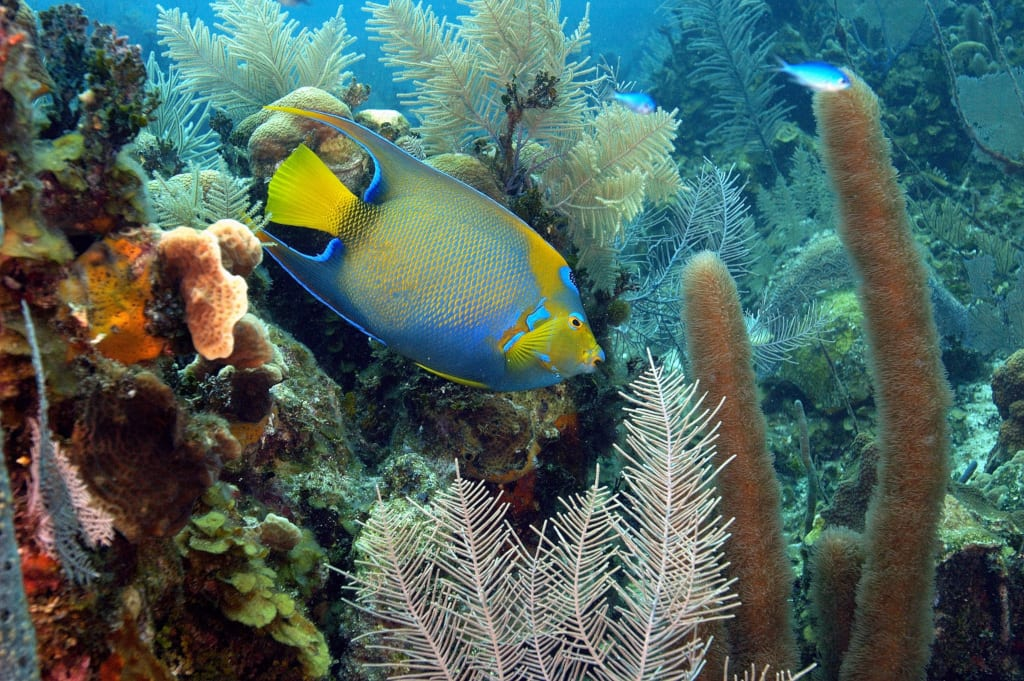 Angel fish on the Belize Barrier Reef