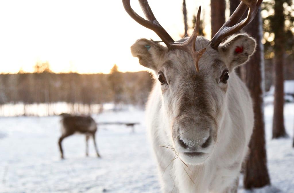 Reindeer and Aurora Gazing in Finnish Lapland