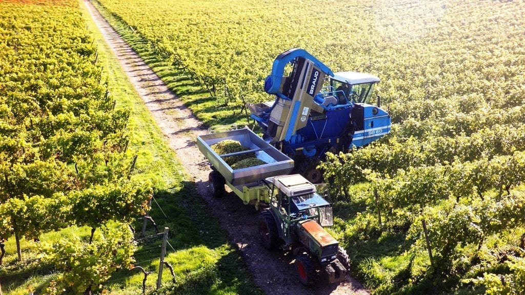 Denbies Wine Estate Surrey harvesting the grapes