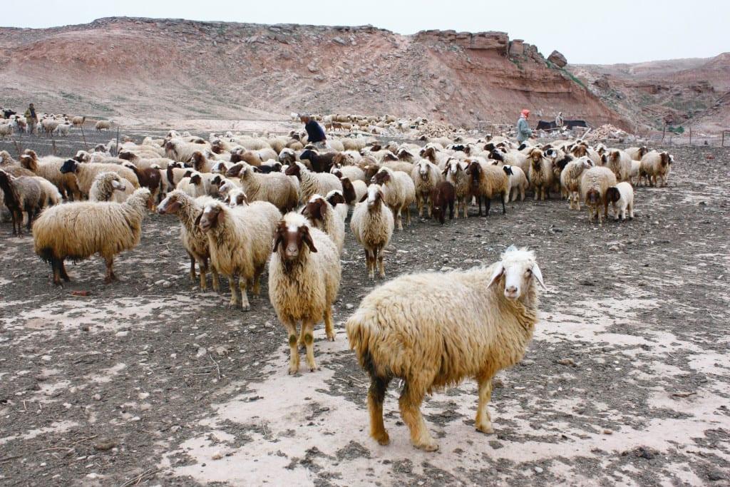 Khut Sheep Shearing Festival, Armenia