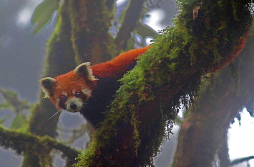 See Red Pandas In The Wild in Nepal