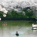 Cherry Blossom Season Japan 2020