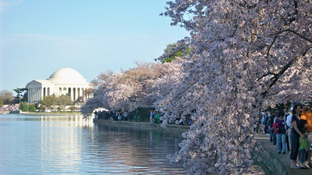 National Cherry Blossom Festival Travel Begins At 40,Perennials Plant With Purple Flowers And Green Leaves