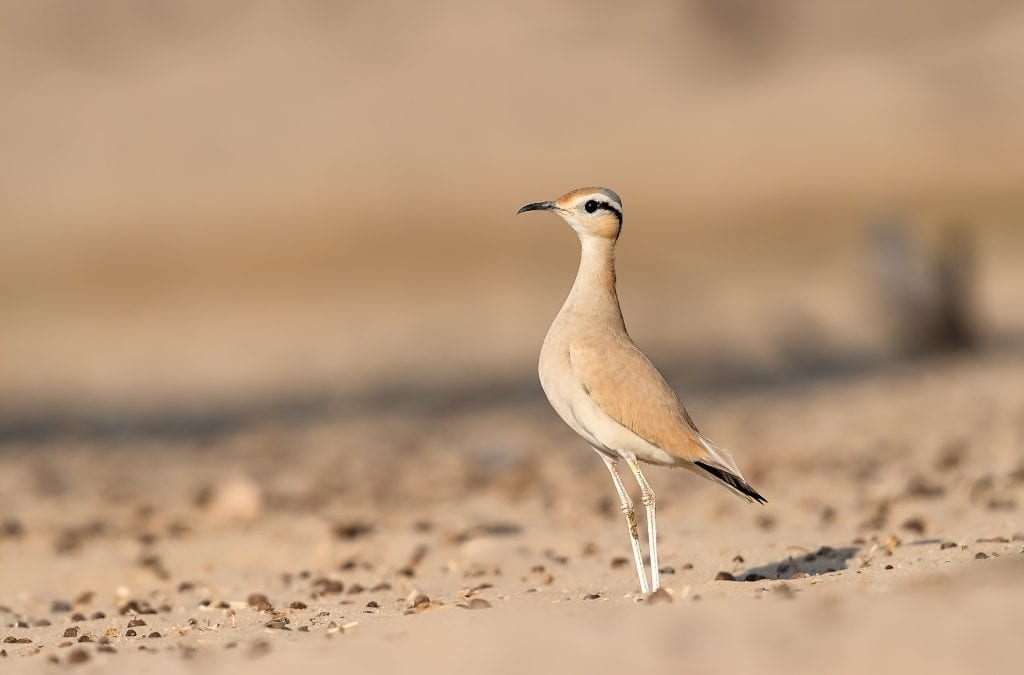 Go Birdwatching in Southern Morocco