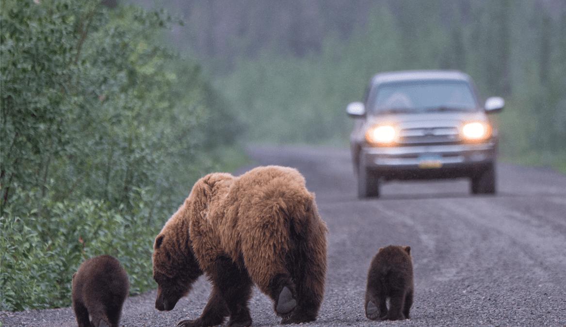 Discover the Wildlife of Yukon