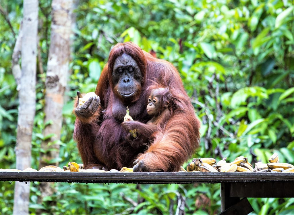 Cheap Destinations to Visit in 2021 - See Orang utan in Borneo or Sarawak, Indonesia