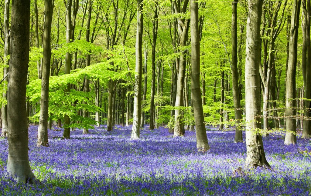 West Wood bluebells