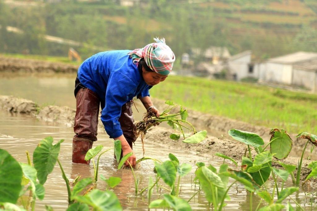 Tending crops in Sapa