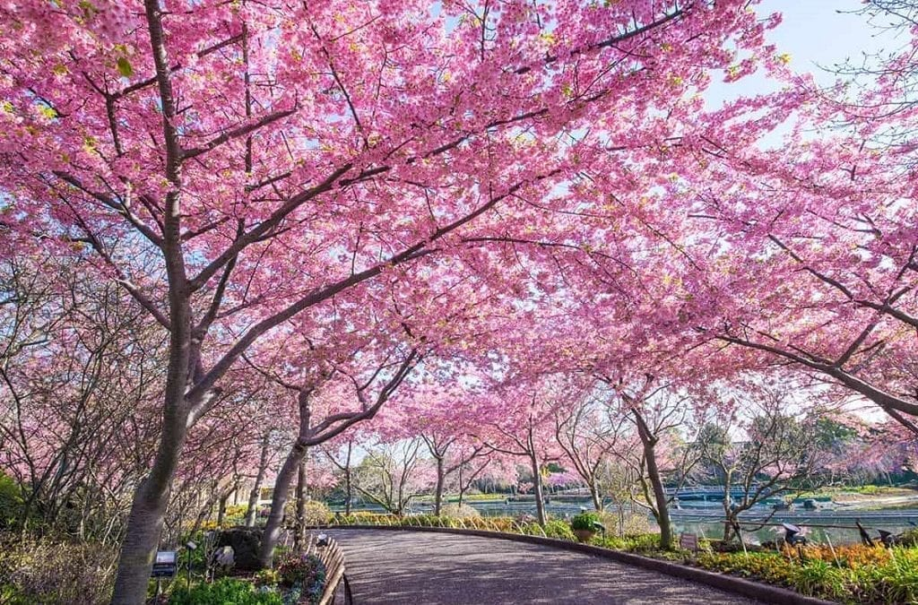 Explore Japan's Cherry Blossoms