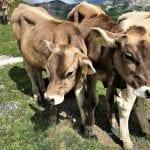 A bovine welcome in the Jungfrau Swiss Alps