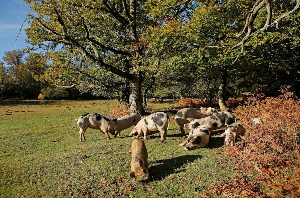 Witness the Annual Pig Pannage in the New Forest