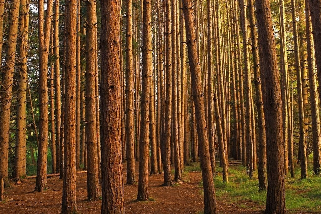 monoculture trees