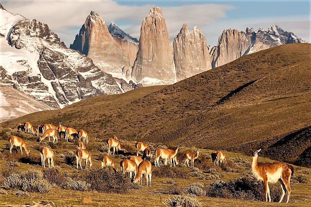 Guanacos, Chile (Tom Ambrose)