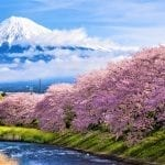 Japan's Earliest Cherry Blossoms in Shizuoka