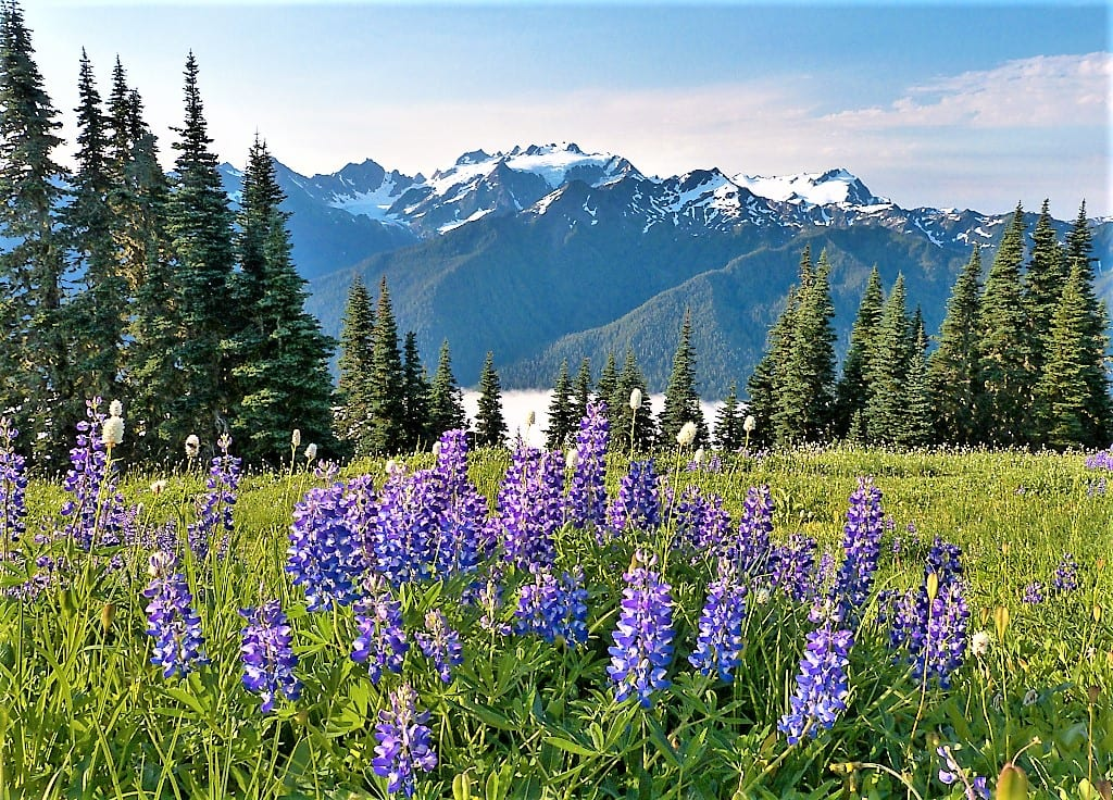 Olympic Mountains Lupine