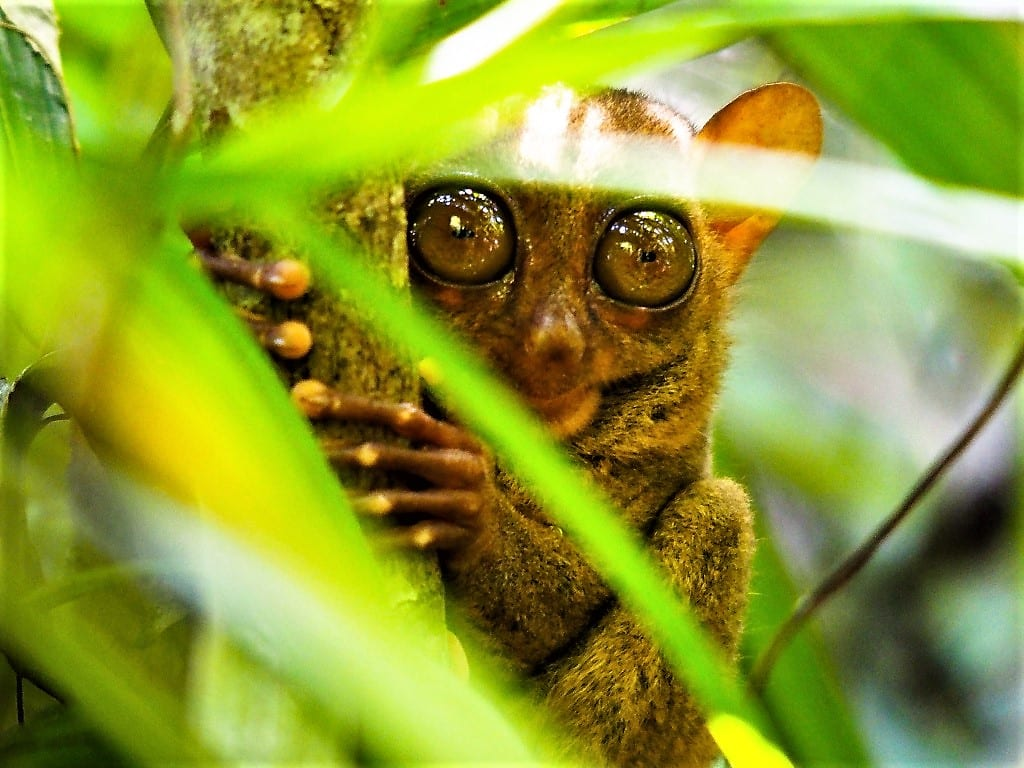 The incredibly cute tarsier