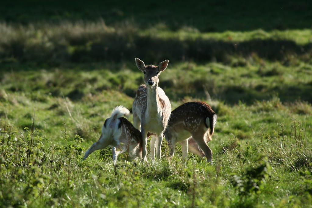 Fallow deer C MJ Matthews New Forest Nat Park (5)