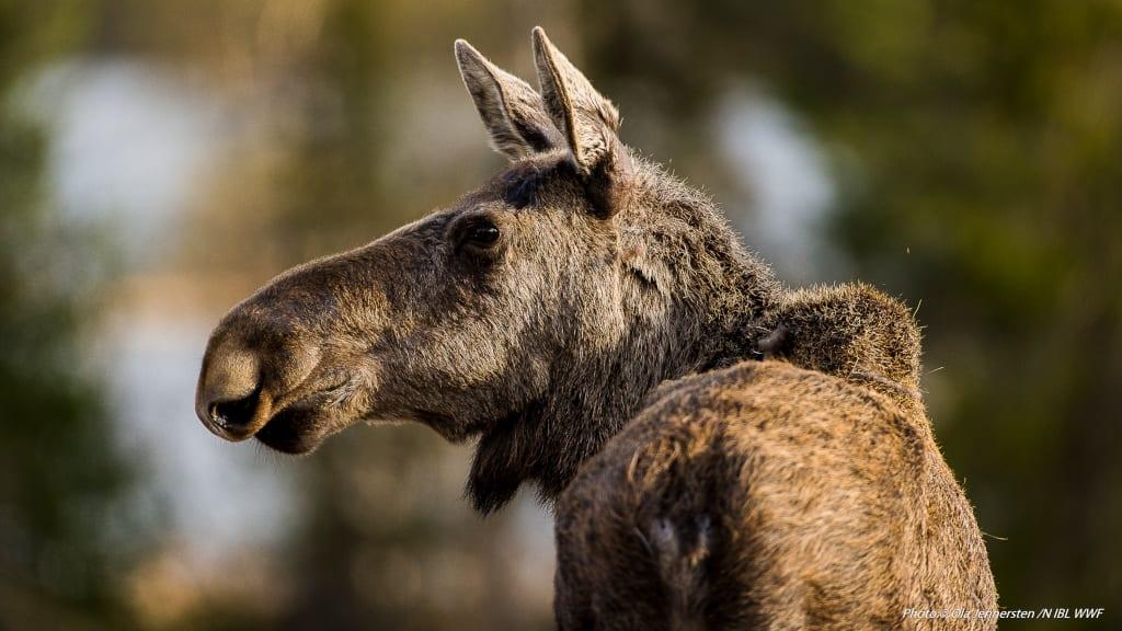 Wildlife-©Geunja-Sami-Ecolodge-Ola-Jennersten-WWF