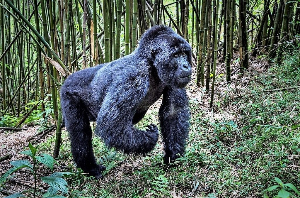Celebrate World Gorilla Day with Rwanda