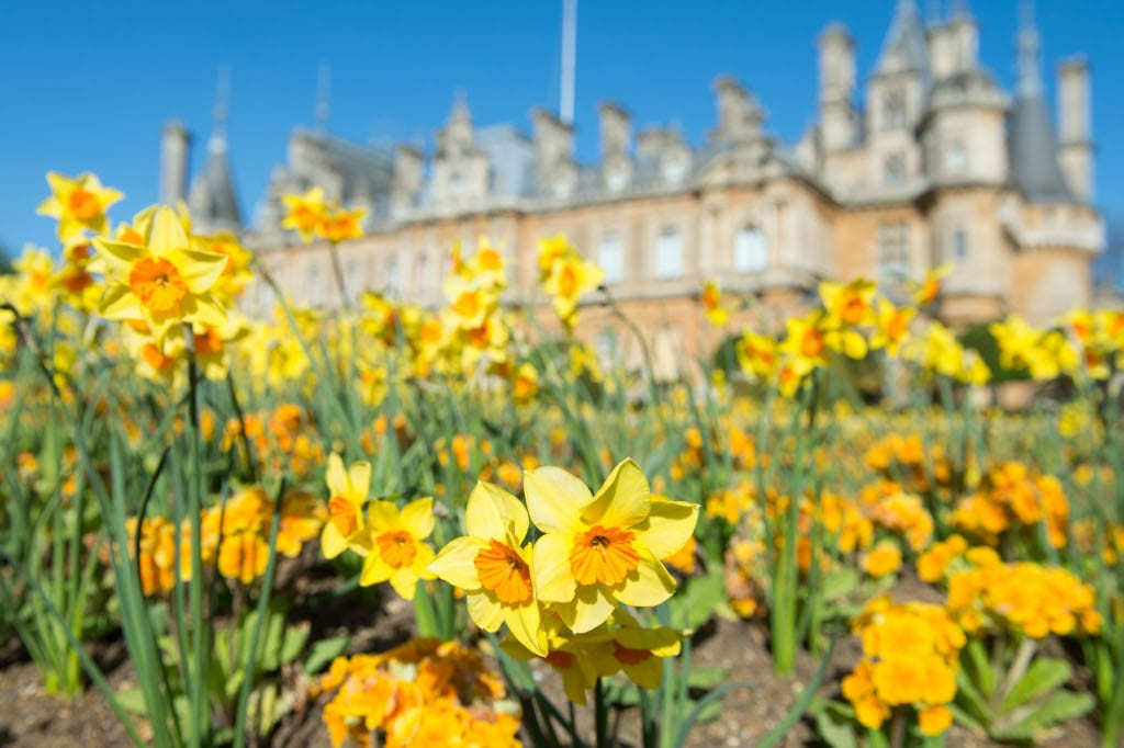 Daffodils at Waddesdon. Photo Derek Pelling © National Trust, Waddesdon Manor