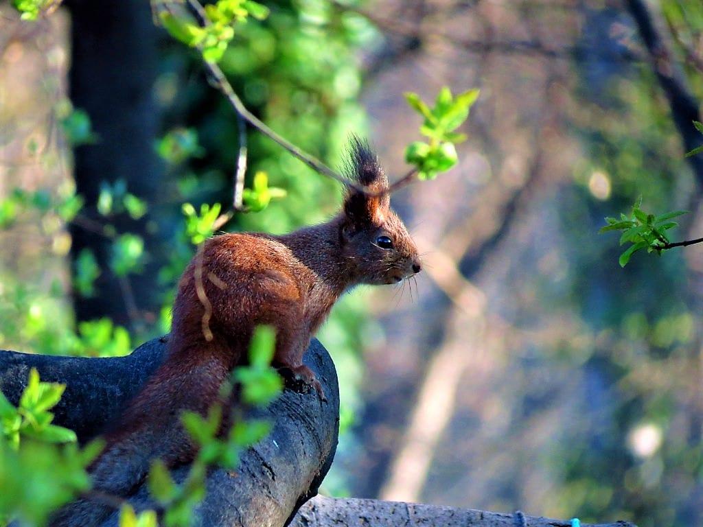 Red Squirrel credit Gabor Vereb