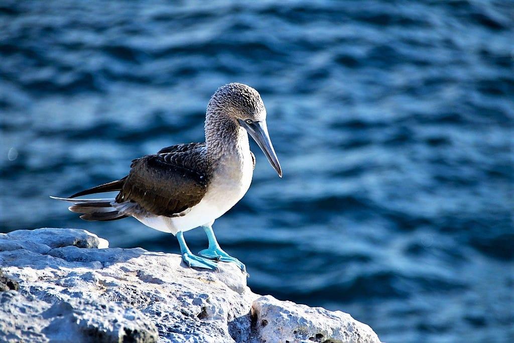 Riviera Nayarit, Blue Footed Booby (1)