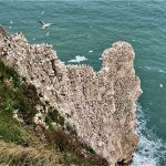 Nesting gannets at Bempton Cliffs