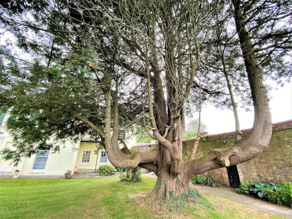 Elm Grove Tree - and what a tree it is